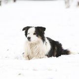 Border collie in winter Stock Images
