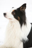 Border collie in winter Royalty Free Stock Photography