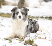 Border collie in winter Royalty Free Stock Images