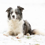 Border collie in winter Stock Image