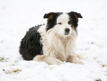 Border collie in winter Royalty Free Stock Photo