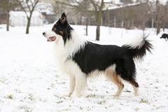 Border collie in winter Royalty Free Stock Image
