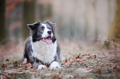 Border collie. In winter time Stock Photos