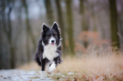 Border collie. In winter time Stock Photography