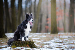 Border collie. In winter time Royalty Free Stock Photo