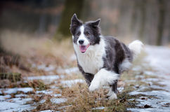 Border collie. In winter time royalty free stock images