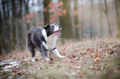 Border collie. In winter time Stock Image