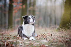 Border collie. In winter time Royalty Free Stock Image