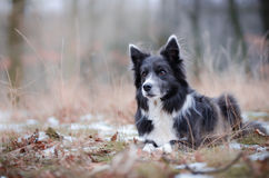 Border collie. In winter time Royalty Free Stock Photography
