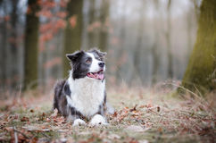 Border collie. In winter time Stock Photo