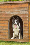 Border collie in wooden doghouse. Border collie is standing in wooden doghouse royalty free stock photos