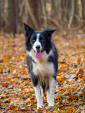 Border Collie. In woods In Autumn Fall season stock photos