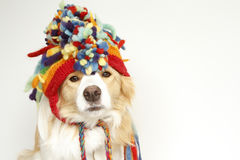 Border Collie in a woollen hat. Two year old gold and white ee red border collie in a colourful woollen hat Stock Images
