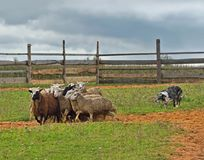 Border collie herding. Border collie working flock of sheep in a meadow Royalty Free Stock Photos