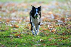 A Border Collie playing fetch in the park in autumn royalty free stock photo