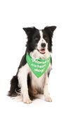 Border collie world's cutest dog Royalty Free Stock Image