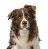 Border collie (2 years old) Royalty Free Stock Photo