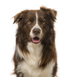 Border collie (2 years old) Stock Photos