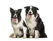 Border Collie, 7 years and 2 years old. Sitting in front of white background stock images
