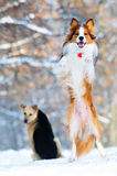 Border collie young dog play in winter Royalty Free Stock Images