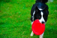 Border collie, zum eines Frisbee zu fangen Lizenzfreies Stockbild