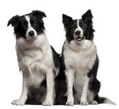 Border collies 1 and 9 years old, sitting Stock Photos