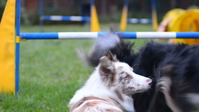Border collies on ajility stock video footage