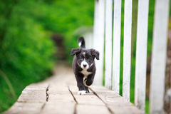 Border Collies black puppy. On bridge Stock Photos