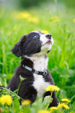 Border Collies. Black puppy dog Stock Photography