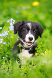 Border Collies. Black puppy dog Royalty Free Stock Image