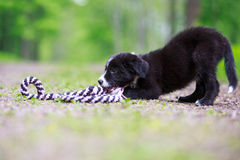 Border Collies. Black puppy dog with toy Stock Images