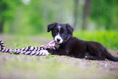 Border Collies. Black puppy dog with toy Royalty Free Stock Images