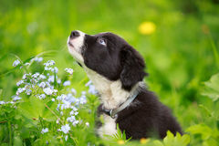 Border Collies. Black puppy in grass Stock Photos