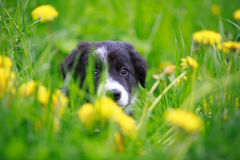 Border Collies. Black puppy in grass Stock Photo
