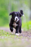 Border Collies. Black puppy walk Royalty Free Stock Images