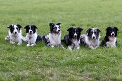 Border collies family. Meeting of border collie family royalty free stock photo