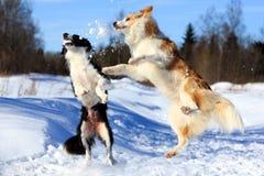 Two Dog Stock Photo