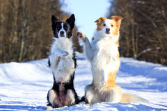 Two Dog. Border Collies fun in winter Royalty Free Stock Photos