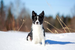 Dog. Border Collies fun in winter Stock Photography