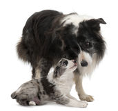 Border Collies interacting. In front of white background Stock Image