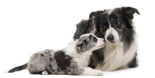 Border Collies interacting. In front of white background Royalty Free Stock Photo
