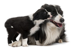 Border Collies interacting. In front of white background Stock Images