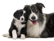 Border Collies interacting. In front of white background Royalty Free Stock Images