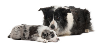 Border Collies lying Royalty Free Stock Photos