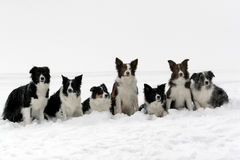 Border collies pack stock photo