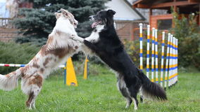 Border collies showing pair dance stock video footage