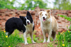 Border Collies. Two Border Collies on green grass Stock Images
