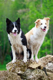 Border Collies. Two Border Collies on rocks Stock Photography