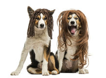 Border Collies wearing wigs sitting together, Royalty Free Stock Image