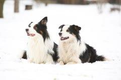 Border collies in winter Royalty Free Stock Photos
